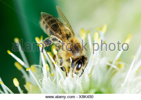 Worker bee sitting on white flower - Stock Photo