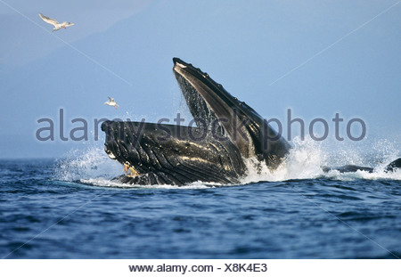 Humpback Whale lunge feeding, Chatham Strait, Southeast Alaska - Stock Photo