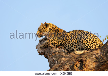 Leopard Panthera pardus Ulusaba Sir Richard Branson's Private Game Reserve Sabi Sands Game Reserve Mpumalanga South Africa tree - Stock Photo