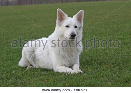 White Swiss Shepherd lying on a meadow - Stock Photo