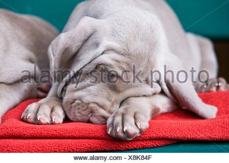 Weimaraner dog, puppy, sleeping on a bench, North Tyrol, Austria, Europe - Stock Photo