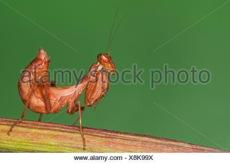 European Dwarf Mantis (Ameles spallanzania), female - Stock Photo