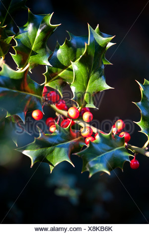 Red berries on a holly bush - Stock Photo