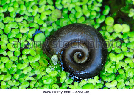 Great Ramshorn Snail - Stock Photo