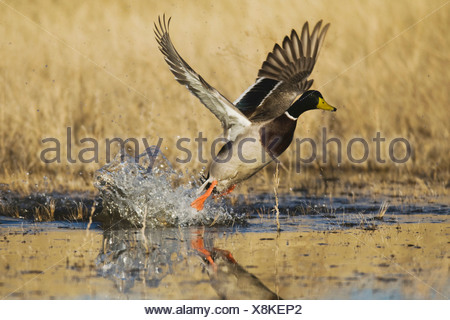 Mallard (Anas platyrhynchos), male taking off, Bosque del Apache National Wildlife Refuge , New Mexico, USA, - Stock Photo