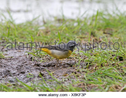 Grey Wagtail Motacilla cinerea male Cley Norfolk - Stock Photo