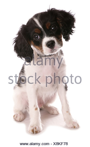 Cavalier King Charles Spaniel. Adult sitting. Studio picture against a white background - Stock Photo
