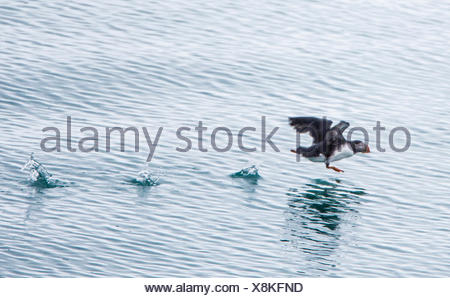 Atlantic puffin, Common puffin (Fratercula arctica), starting from the water, Norway, Svalbard, Svalbard Inseln, Lilliehoeoekfjorden - Stock Photo