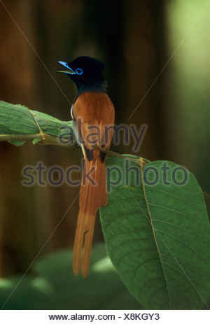 Seychelles paradise flycatcher Terpsiphone corvina - Stock Photo