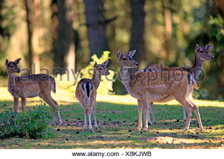 Fallow Deer (Cervus dama), does with fawns, captive, Wildpark Silz, Silz - Palatinate, Rhineland-Palatinate, Germany - Stock Photo