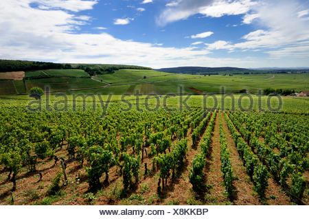 Vineyard of Cotes de Beaune, Cote d'Or, Burgundy, France, Europe - Stock Photo