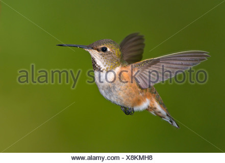 Female Rufous hummingbird (Selasphorus rufus) in flight, Victoria, Vancouver Island, British Columbia, Canada - Stock Photo