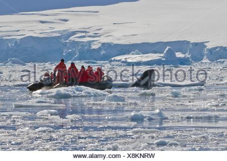 A young adult Pack Ice Type B killer whale Orcinus orca spy-hopping near a Zodiac in Dorian Bay 64º 46 85´ S 63º 28 25´W near - Stock Photo