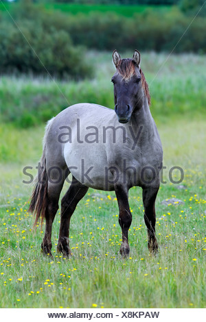 Male konik horse (Equus przewalskii f. caballus), stallion, Tarpan back breeding - Stock Photo