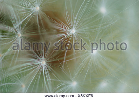 Cirsium vulgare Thistle - Spear thistle / Scotch thistle / Bull thistle - Stock Photo