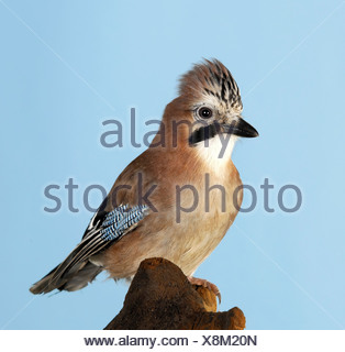 Jay perched on tree stump - Stock Photo