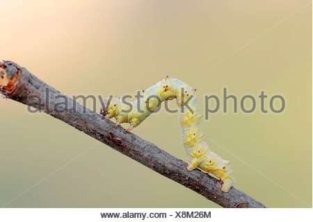 Caterpillar, Pale Brindled Beauty (Apocheima pilosaria, Phigalia pedaria), Gelderland, Netherlands - Stock Photo