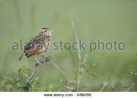 Rufous-naped Lark (Mirafra africana) adult, calling, perched on twig, Masai Mara, Kenya - Stock Photo