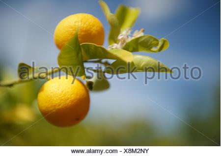 Low Angle View Of Oranges Growing On Tree Against Sky - Stock Photo