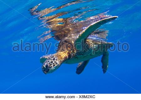 Green Sea Turtle, Hawaii, America, USA - Stock Photo