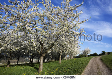 Cherry Blossom in Obereggenen - Stock Photo