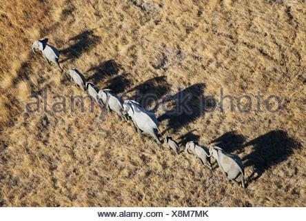 African Elephant (Loxodonta africana), breeding herd, roaming, aerial view, Okavango Delta, Moremi Game Reserve, Botswana - Stock Photo