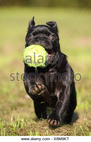 playing pug - Stock Photo