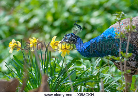 Common peafowl, Indian peafowl, blue peafowl (Pavo cristatus), male on the feed, Germany, North Rhine-Westphalia - Stock Photo