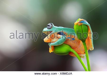 Javan tree frog on a flower, Indonesia - Stock Photo