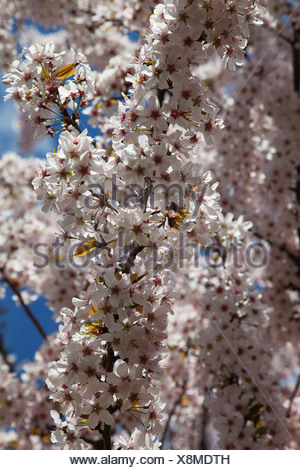 Apple tree, Malus domestica. Branches with massed, white blossoms. England, West Sussex, Chichester. - Stock Photo