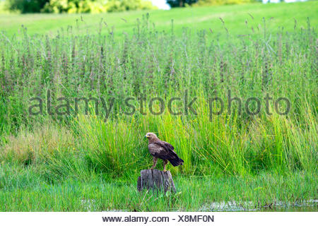lesser spotted eagle (Aquila pomarina), searching food in wetland, Germany, Mecklenburg-Western Pomerania - Stock Photo