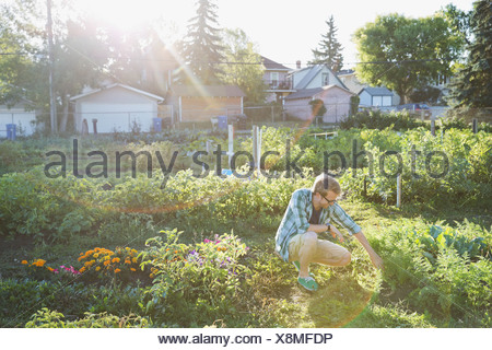 Man bent over in community garden - Stock Photo