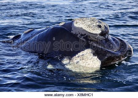 southern right whale (Eubalaena australis, Balaena glacialis australis), in Atlantik sea, Argentina, Peninsula Valdes - Stock Photo