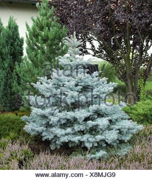 Colorado blue spruce (Picea pungens 'Koster', Picea pungens Koster), cultivar Koster - Stock Photo