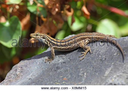 Canary Island Lizard (Gallotia galloti galloti), female sitting on a stone, Canary Islands, La Palma - Stock Photo