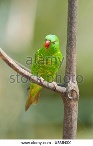 Scaly breasted lorikeet (Trichoglossus chlorolepidotus) sitting on a twig, Lone Pine Koala Sanctuary, Brisbane, Queensland - Stock Photo