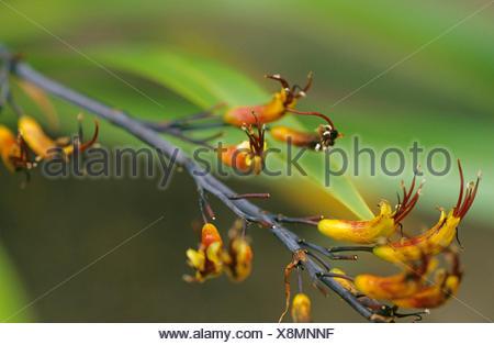 Phormium (Phormium cookianum), inflorescence - Stock Photo