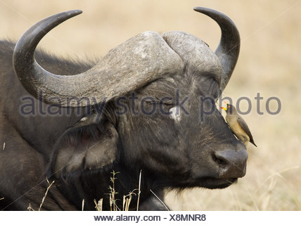 zoology / animals, mammal / mammalian, Bovidae, African Buffalo (Syncerus caffer), detail: head, bird (Yellow-billed Oxpecker) sitting on mouth, Masai Mara, Kenya, distribution: Africa, Additional-Rights-Clearance-Info-Not-Available - Stock Photo