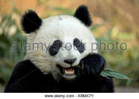 Giant Panda (Ailuropoda melanoleuca) sub adult feeding. Bifengxia, China. Captive. - Stock Photo