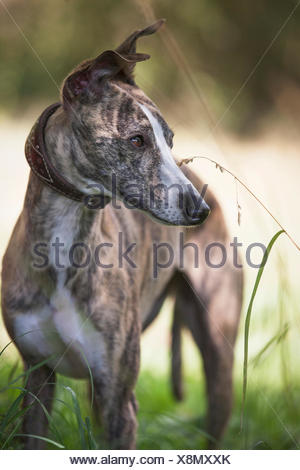 Whippet stands in the grass, view at side, - Stock Photo