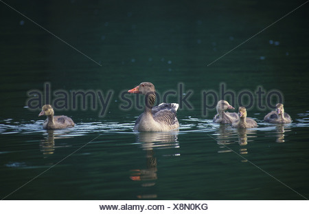 Greylag Goose (Anser anser). Parent with goslings on water. Germany - Stock Photo