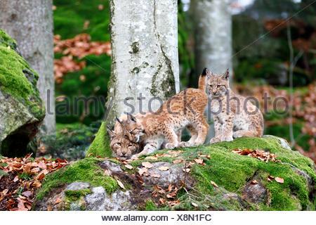Eurasian lynx (Lynx lynx), mother with two kittens, cuddling, captive, Germany - Stock Photo