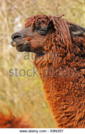 Alpaca (Lama pacos, Vicugna pacos), native to South America, in captivity, the Netherlands - Stock Photo