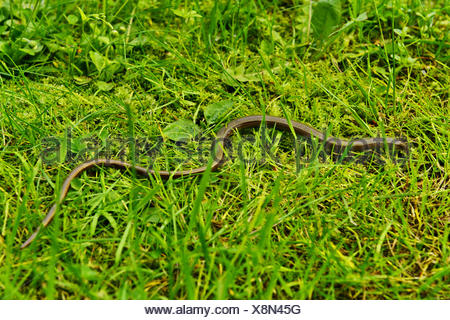 Blindworm in the grass - Stock Photo