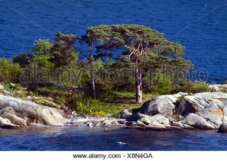 Scotch pine, scots pine (Pinus sylvestris), on skerry, Norway, Buskerud, Oslofjord - Stock Photo