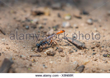 digger wasps, hunting wasps (Sphecidae, Sphegidae), closing a prey hiding-place with a stone, USA, Arizona, Phoenix - Stock Photo