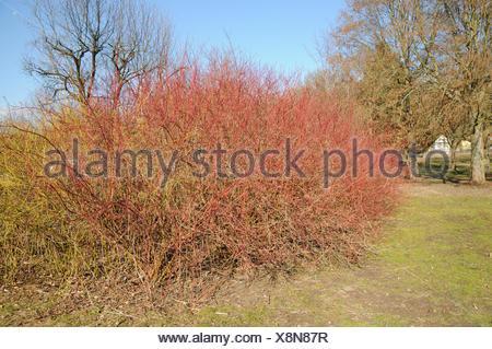 Siberian dogwood - Stock Photo