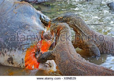 Komodo-Waran, Komodo Waran, Komodowaran (Varanus komodoensis), zwei Komodowarane fressen am Kadaver eines im Flachwasser verende - Stock Photo