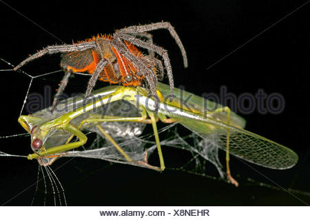 Radnetzspinne, Radnetz-Spinne, Eriophora fuliginea (Eriophora fuliginea), mit erbeuteter Gottesanbeterin, Costa Rica | ord-weavi - Stock Photo