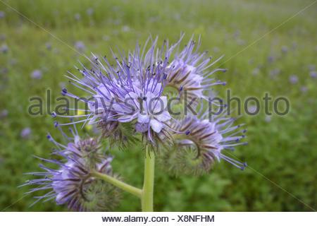 Bienenfreund, Phacelia tanacetifolia, Gründünger, Lacy Phacelia (Phacelia tanacetifolia), Fiddleneck, Phacelia, Bee Food, Scorpi - Stock Photo